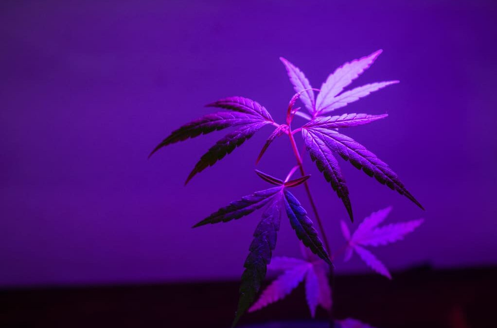 Three medical cannabis companies in focus at Proactive's webinar on August 11