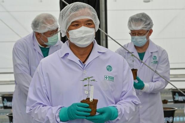 Health chief plants cannabis as Thailand eyes medicinal market