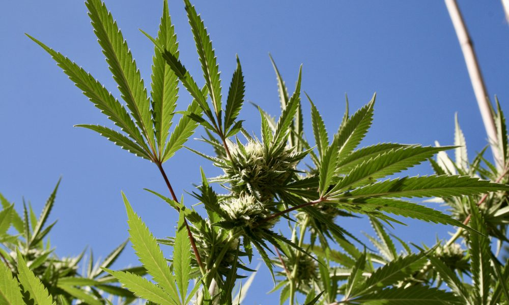 New Jersey Mayors Surveyed About Marijuana As State Prepares To Implement Legalization