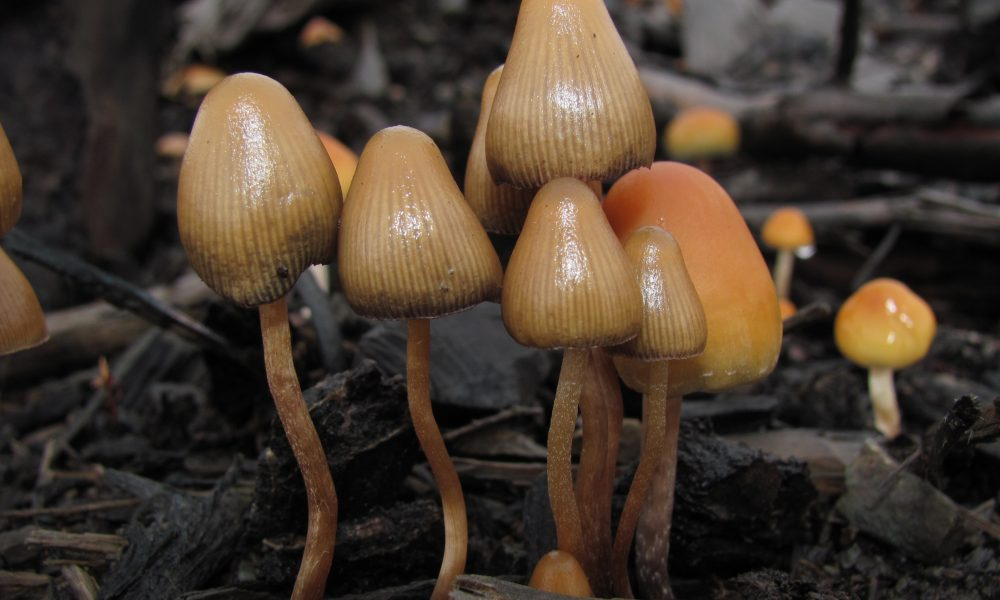 New Hampshire Supreme Court Upholds Religious Freedom To Use Psychedelic Mushrooms