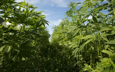 USDA Seeks Information From 20,000 Hemp Farmers On Production Practices