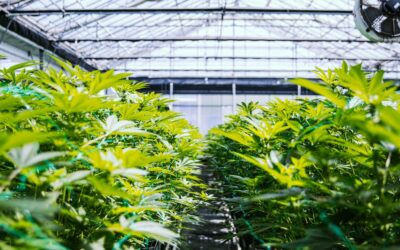 Amatheon Agri Receives Regulatory Approval to Cultivate Medical Cannabis in Zimbabwe