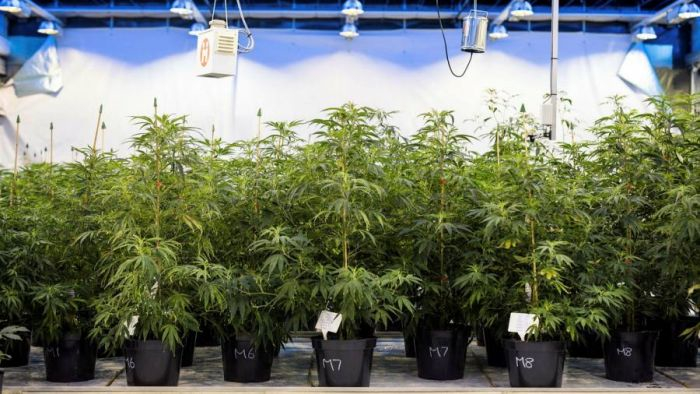 Post-Brexit labor shortages deal blow to UK cannabis production